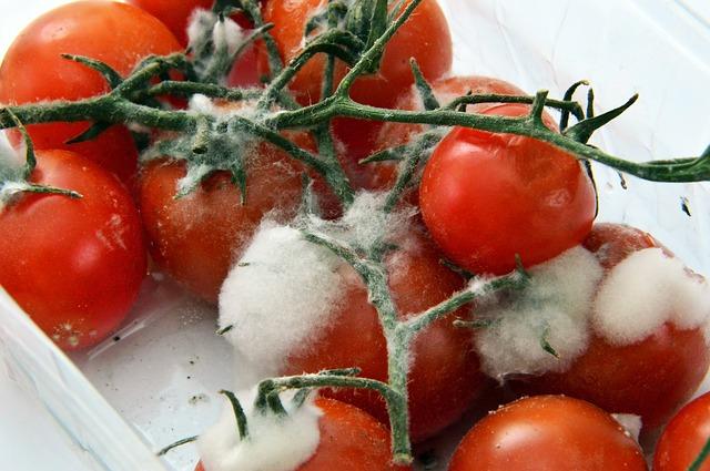 rajčata s plísní